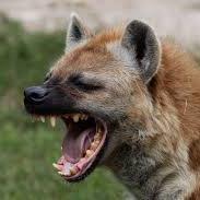 hyena v1 AUDNZD