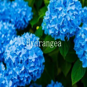 アノマリーとテクニカルの融合EA『Hydrangea』