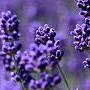 FX_Lavender1_EURUSD_M5